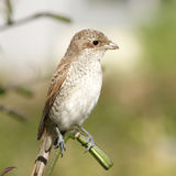 Shrike female close up Royalty Free Stock Photo