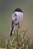 Shrike fiscal (collaris de lanius) Image libre de droits