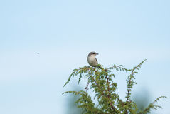 Shrike and a fly Stock Photos