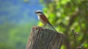 Shrike (Lanius collurio) Royalty Free Stock Image