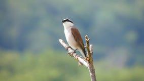 Shrike (Lanius collurio) Stock Photo