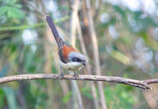 缅甸的Shrike (Lanius collurioides) 库存图片