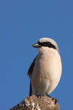 Shrike (lanius excubitor) Royalty Free Stock Images