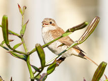 Shrike on lily bush Royalty Free Stock Photography