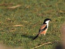 Shrike Long-tailed photo stock