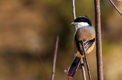 Shrike Long-tailed Fotografia de Stock