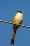 Shrike Long-tailed Imagem de Stock