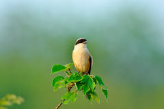A shrike on the lookout for scenery of spring royalty free stock photography