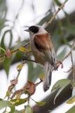 Shrike movido hacia atrás rojo Ucrania, 2017 Poco alcaudón gris o percas de menor importancia del Lanius en una rama de un árbol Foto de archivo libre de regalías