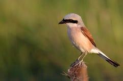 Shrike movido hacia atrás rojo - varón Fotos de archivo