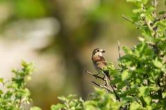 Shrike movido hacia atrás rojo Foto de archivo libre de regalías