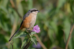A Shrike perched on branch with pink flower Royalty Free Stock Image