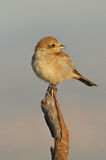 Shrike perches on a tree branch Royalty Free Stock Photography
