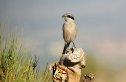Shrike perches on a tree trunk Stock Photography