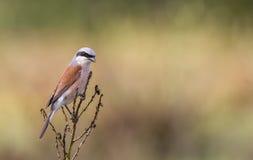 Shrike Rosso-Di appoggio maschio Immagine Stock