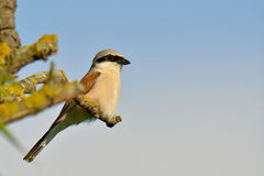 shrike Rouge-desserré, collurio de lanius Photos stock