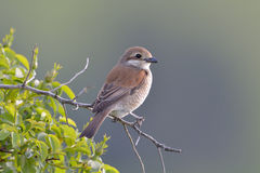 Shrike Rouge-desserré (collurio de Lanius) Images libres de droits