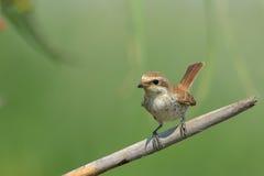 Shrike Rouge-desserré (collurio de Lanius) image libre de droits