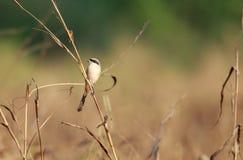 长尾的shrike或支持红褐色的shrike在它的栖所 免版税库存图片