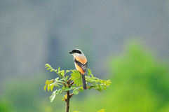 A Shrike in Spring royalty free stock images