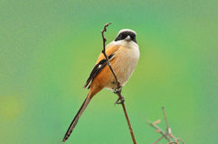 A Shrike in Spring Royalty Free Stock Photography