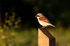 Shrike suportado vermelho - macho Fotos de Stock