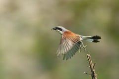 Shrike Vermelho-suportado fotografia de stock royalty free