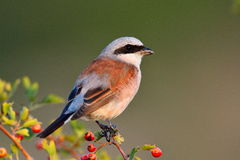 Shrike Vermelho-suportado (collurio do Lanius) Foto de Stock Royalty Free