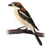 Shrike Woodchat Стоковое Изображение