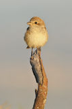 Shrike Royalty Free Stock Photo