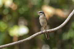 Shrikes Stock Image