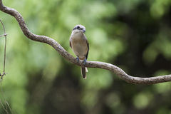 Shrikes Stock Images