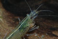 Shrimp 13 Stock Image