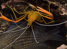 Shrimp. Cleaner shrimp and fish in the mediterranean sea Stock Image