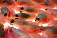 Shrimp. Details of fresh, whole shrimp with back lighting. Infraorder: Caridea royalty free stock photo