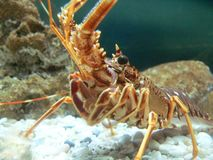 Shrimp. A cute shrimp Royalty Free Stock Images