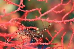 Shrimp. Tiny shrimp on red seafan at Malapascua, Phillippines Stock Image