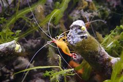 Shrimp. A Pacific Striped Cleaner Shrimp Stock Photos