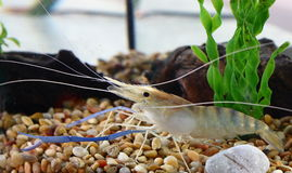 Shrimp. This beautiful shrimp is taking her rest under the water stock photo