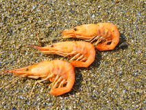 The shrimp. On a background of sand Stock Photo