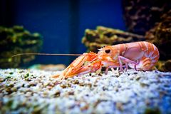 Shrimp in aquarium Stock Photography