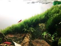 Shrimp. Aquarium aquatic aquascape aquascaping natureaquarium aquaticplants waterplants fishtank Shrimptank nanoaquarium nanotank stock images