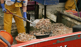Shrimp On The Boat. A shrimper shovelling a load of shrimp into red buckets in order to carry them from the hold to the sorting table Stock Image