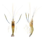 Shrimp (clipping Path) Stock Photography