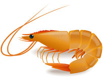 Shrimp. Cooked tiger shrimp  on white background - photo realistic vector illustration Royalty Free Stock Photography