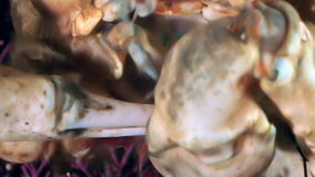 Shrimp in crab claws closeup near mouth underwater on seabed of White Sea. stock footage