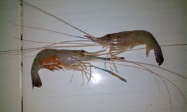 Shrimp crayfish lobster Royalty Free Stock Image