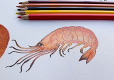 Shrimp drawing on the drawing book and colored pencils. Homework of student in colored pencils classroom Stock Image