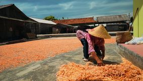 Shrimp drying on ground in Cilacap, Java, Indonesia. Indonesian woman gathering it with hard stick broom stock video