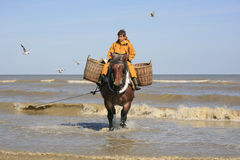 Shrimp Fishermen on horseback, Oostduinkerke, Belgium royalty free stock photography